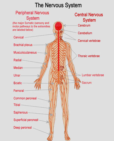 the human nervous system definition, Cephalic Vein