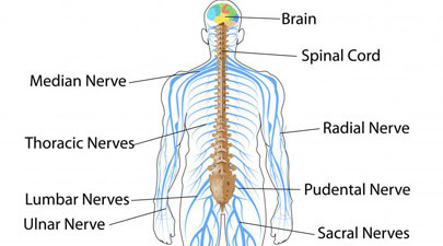 Interesting Factual Information About Human Nervous System